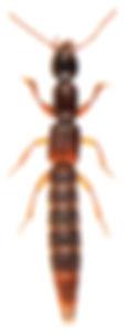 Lobrathium multipunctum.jpg
