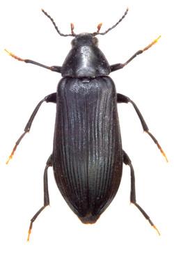 Melandrya caraboides