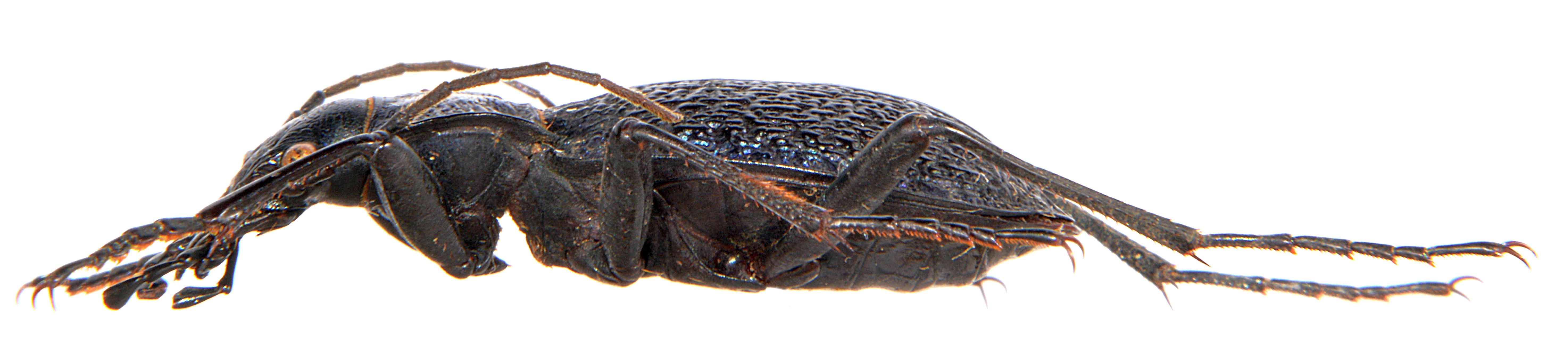 Carabus intricatus 3