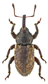 Pachytychius haematocephalus.jpg