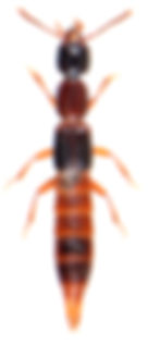 Atrecus affinis 1.jpg