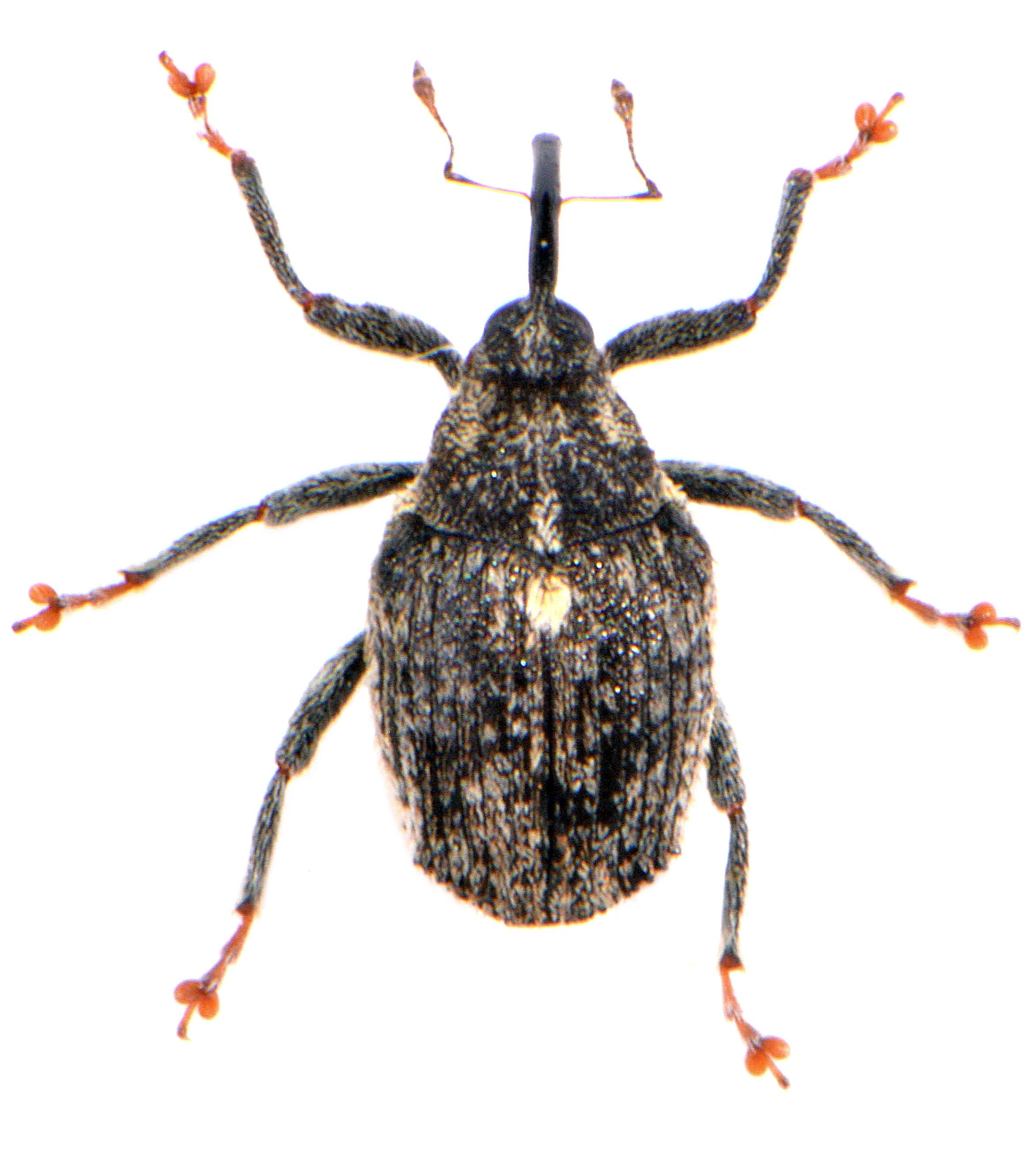 Ceutorhynchus pallidactylus 1