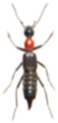 Paederidus rubrothoracicus 2.jpg