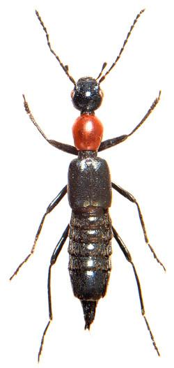 Paederidus rubrothoracicus 1