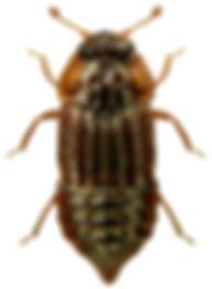 Micropeplus fulvus 1LB.jpg