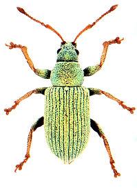 Phyllobius roboretanus.jpg