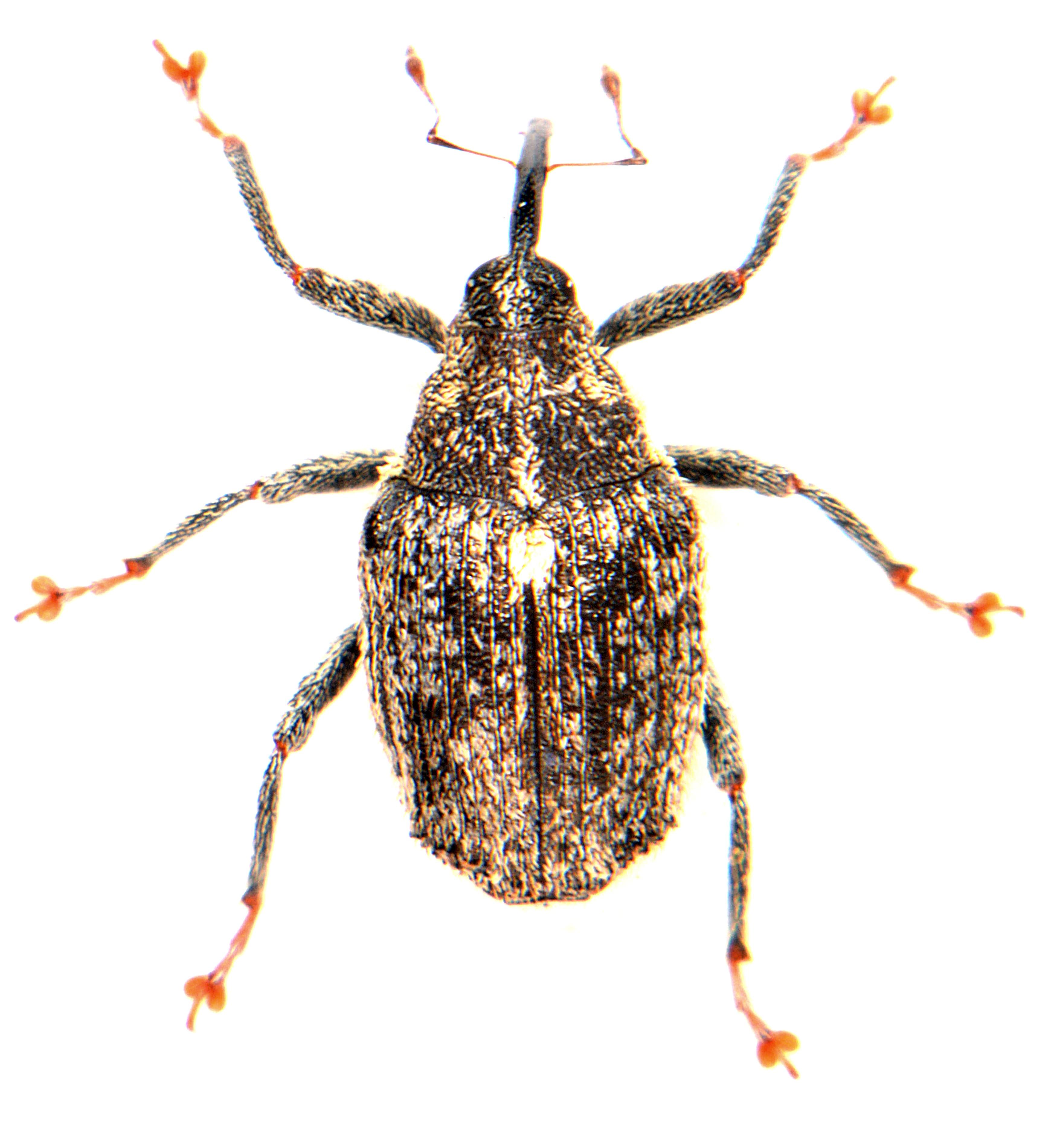 Ceutorhynchus pallidactylus 4