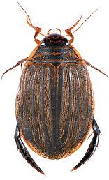 Acilius sulcatus 2.jpg