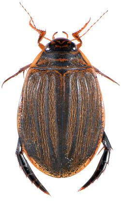 Acilius sulcatus