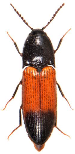 Ampedus balteatus 2
