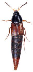 Bryoporus cernuus.JPG