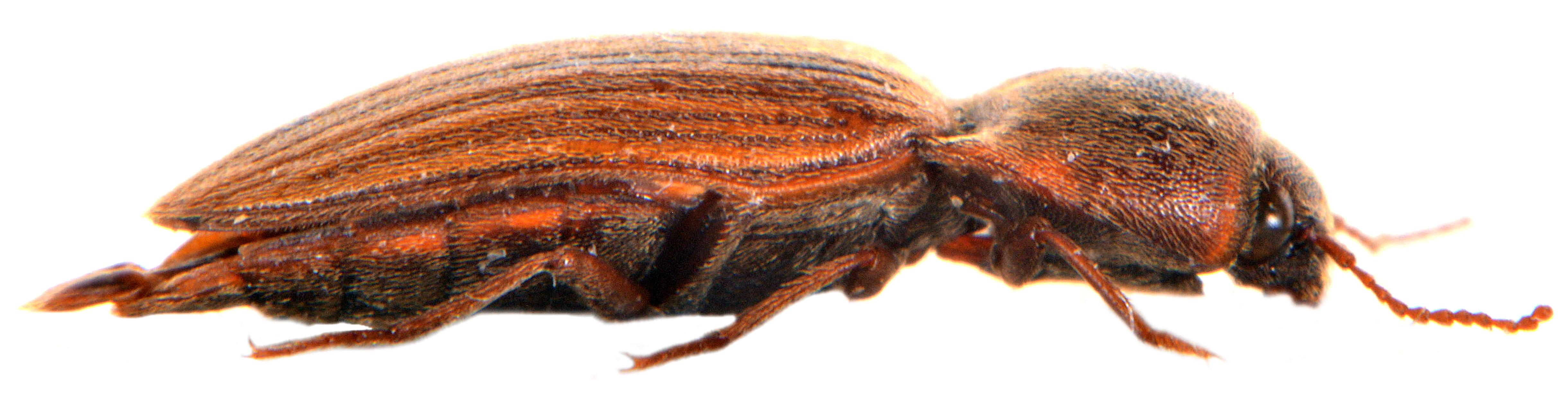 Agriotes lineatus 4