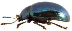 Phaedon cochlaeriae 4
