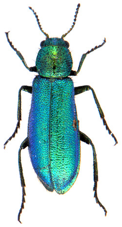 Psilothrix viridicoerulea 2