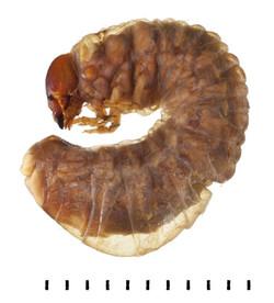 Teuchestes fossor larva