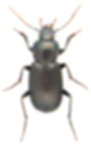 Licinus depressus.jpg