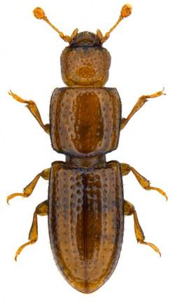 Anommatus duodecimstriatus 1