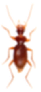 Leistus ferrugineus 1.jpg