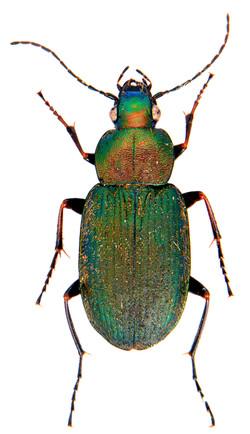 Chlaenius nigricornis 1