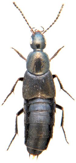 Philonthus cognatus 1