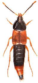 Bolitobius cingulatus 1.jpg