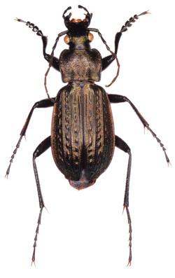 Carabus granulatus ♂