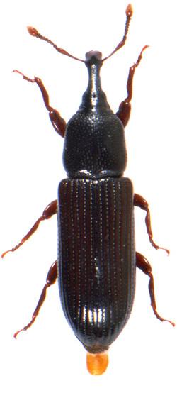 Cossonus parallelopipedus