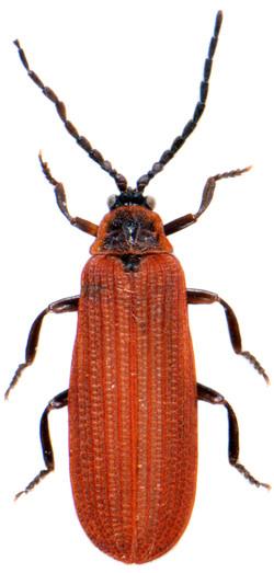 Dictyoptera aurora 1