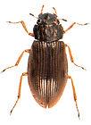 Helophorus flavipes 1.jpg