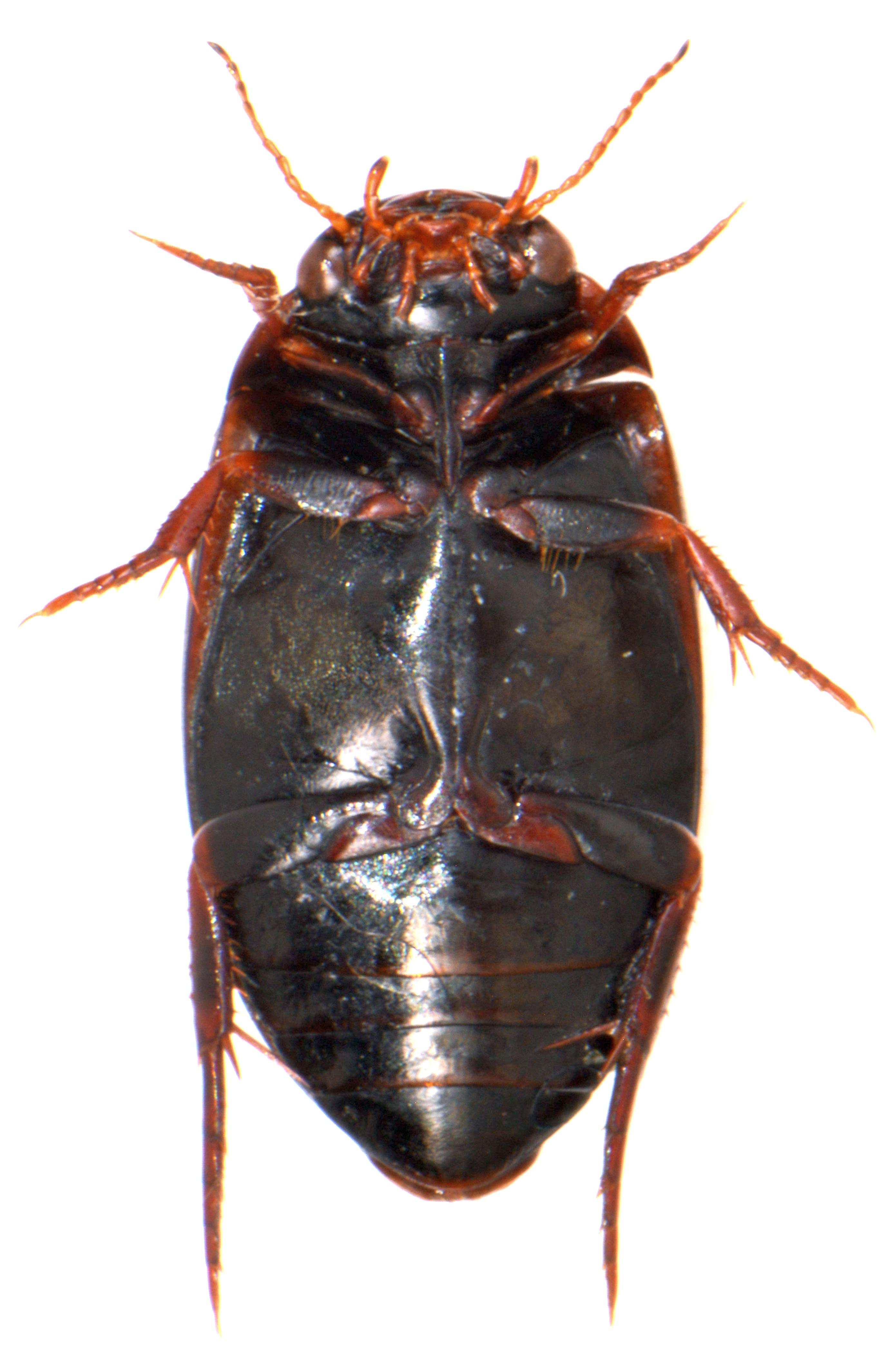 Ilybius chalconatus 3
