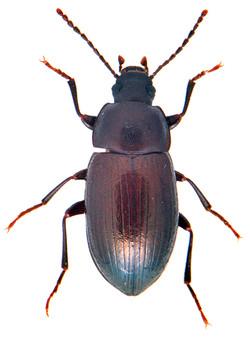 Nalassus laevioctostriatus 1