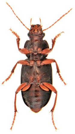 Ophonus ardosiacus 4