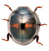 Chilocorus bipustulatus 1.jpg