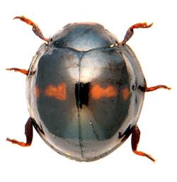 Chilocorus bipustulatus 1