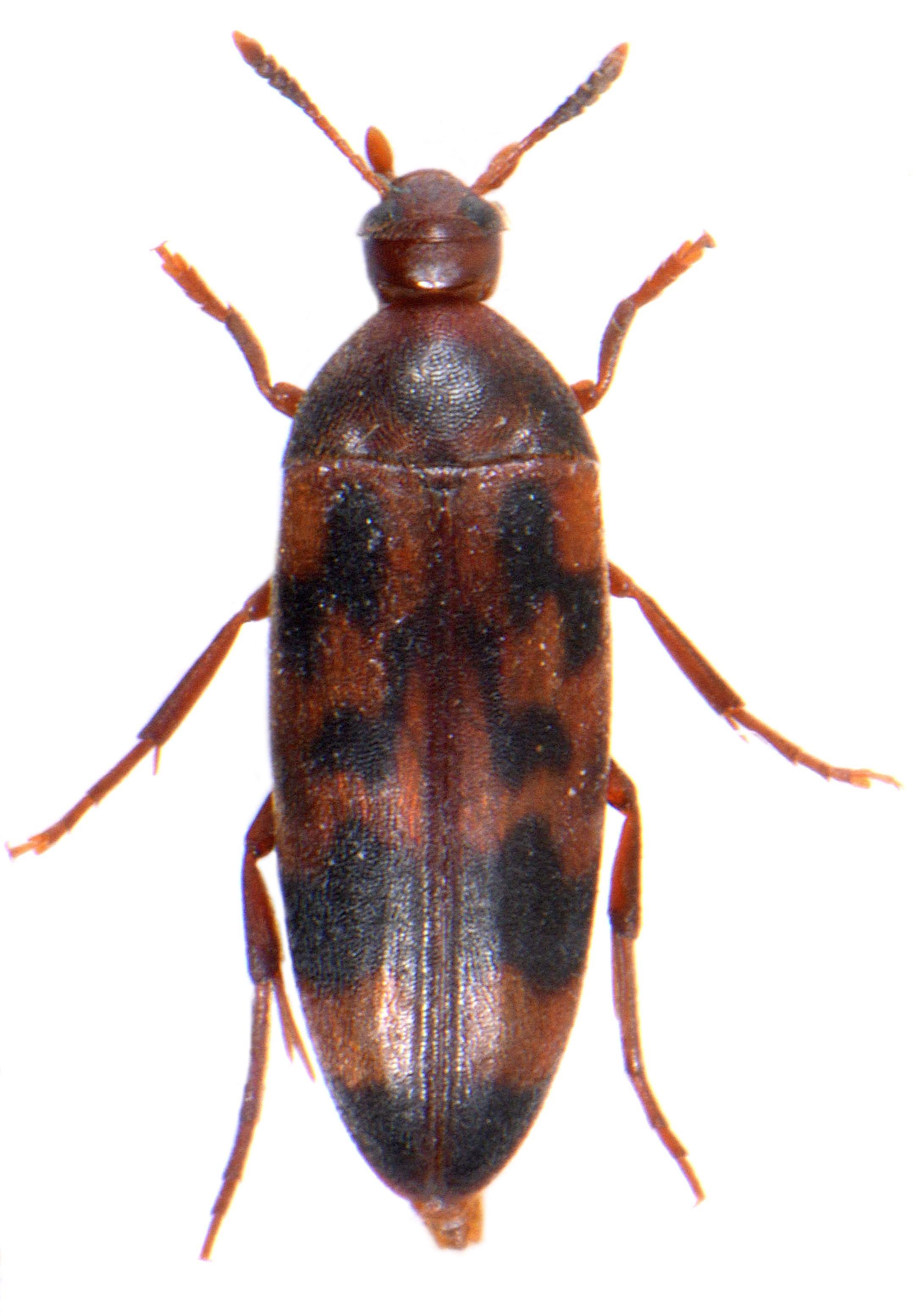 Orchesia undulata