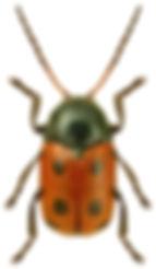 Cryptocephalus primarius.jpg
