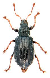 Phyllobius viridicollis.jpg