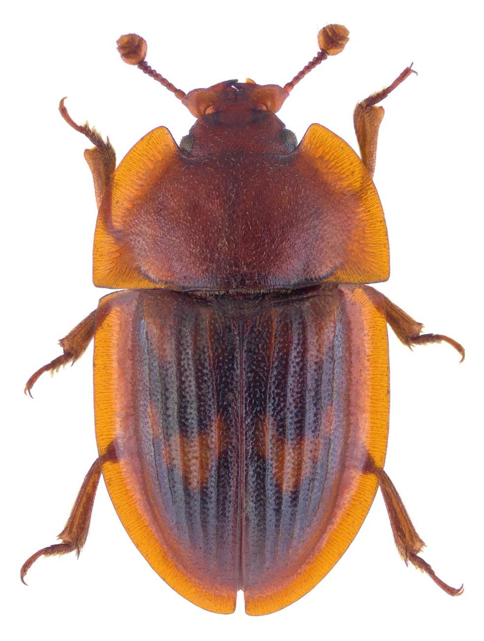 Amphotis marginata 2