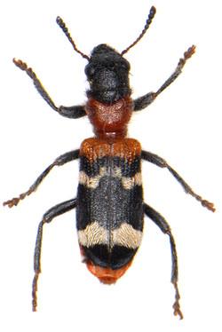 Thanasimus formicarius