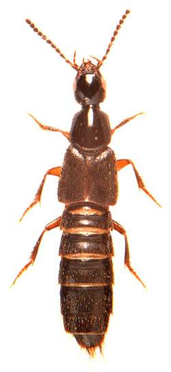 Philonthus quiquilliarius 2