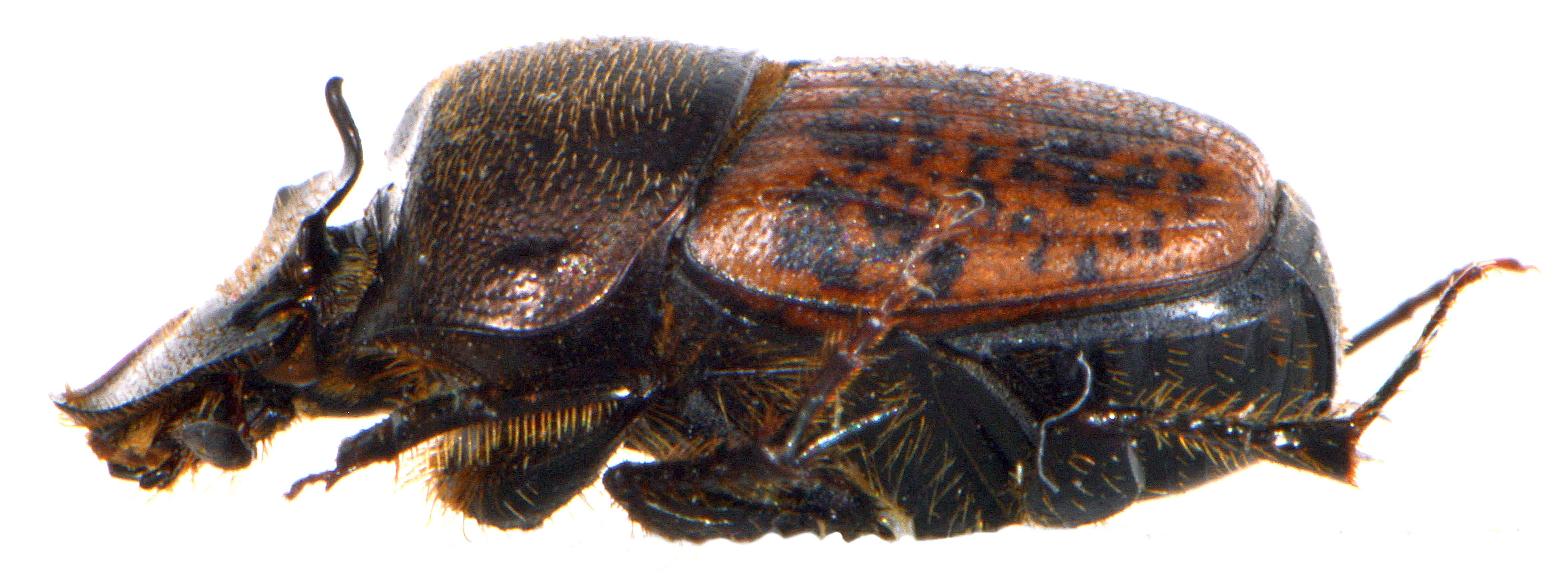 Onthophagus fracticornis 4