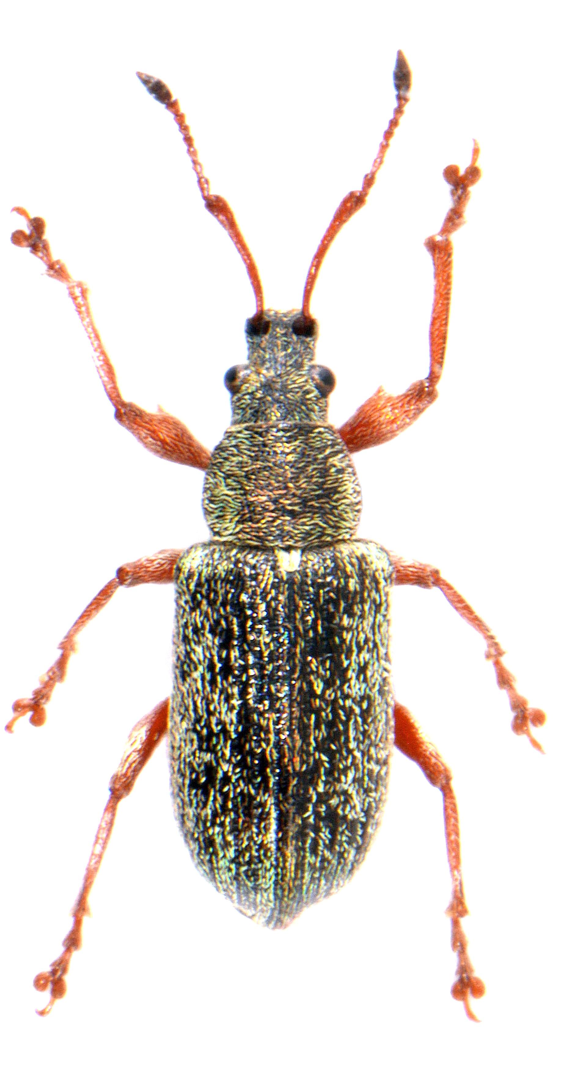 Phyllobius pyri ♂