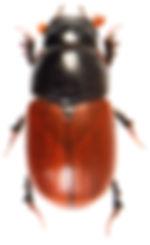 Aphodius fimetarius 1.jpg