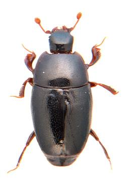 Paromalus flavicornis 2