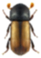 trypodendron_domesticum_1.jpg