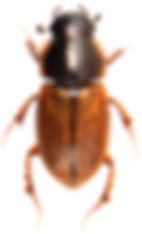 Melinopterus prodromus 1.jpg