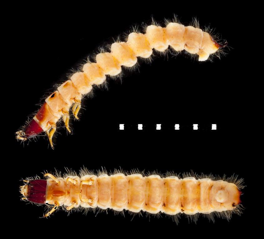 Thanasimus formicarius larva