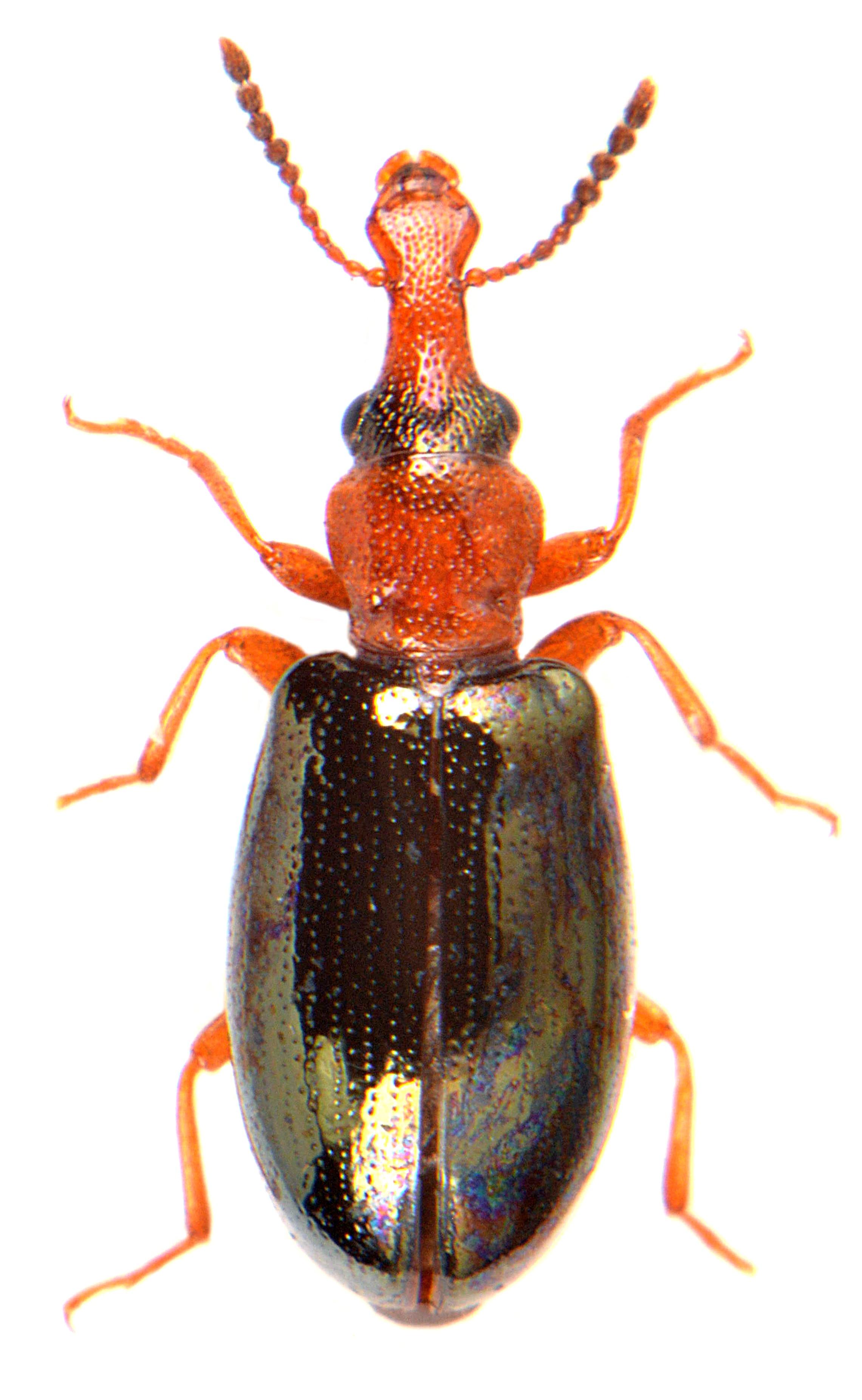 Salpingus ruficollis 3