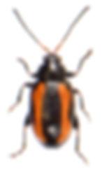 Phyllotreta tetrastigma 2.jpg