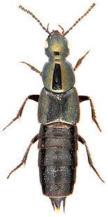Philonthus laminatus 1.jpg